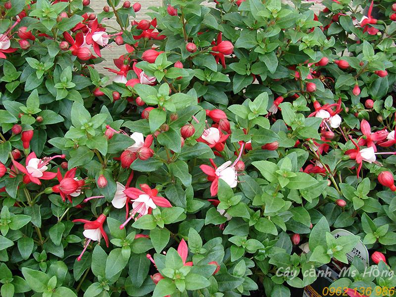 Fuchsia-x-hybrida-hoa-long-den.jpg