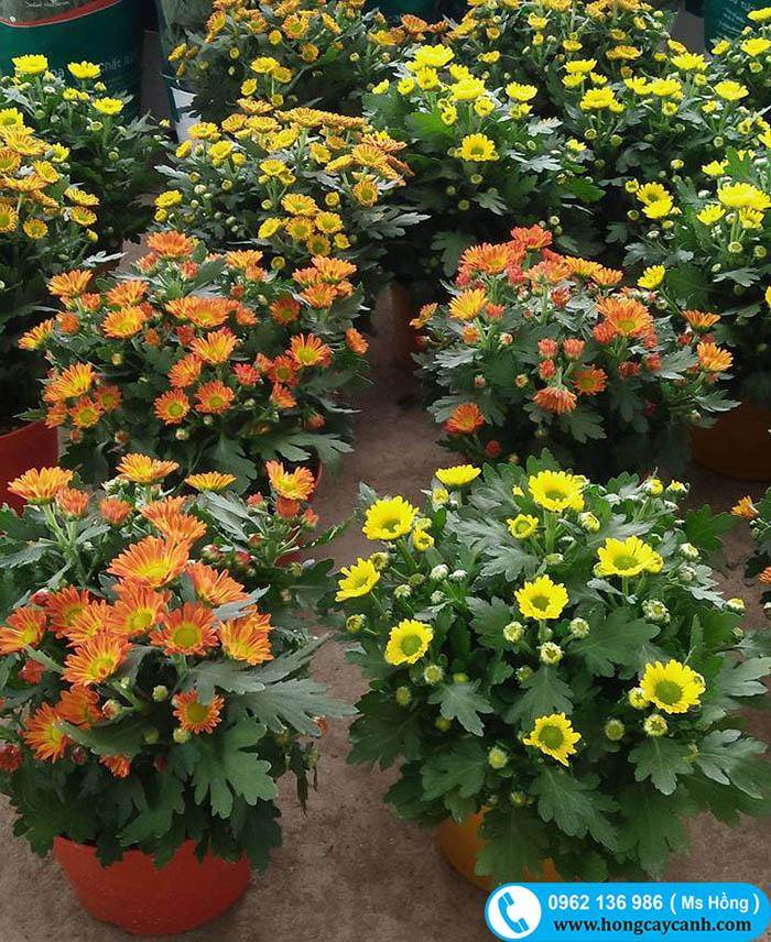 Hoa Cúc Tết đủ Màu