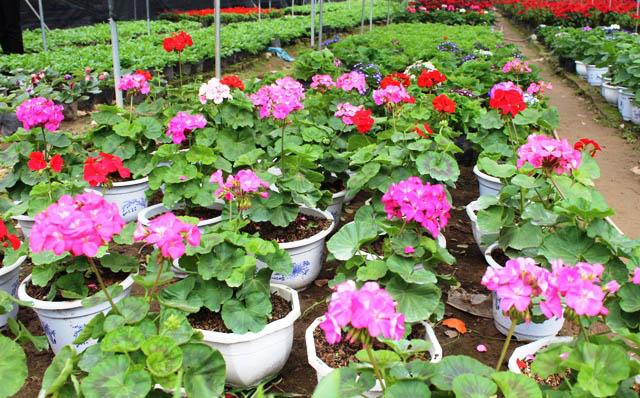 bán hoa phong lữ Hà Nội