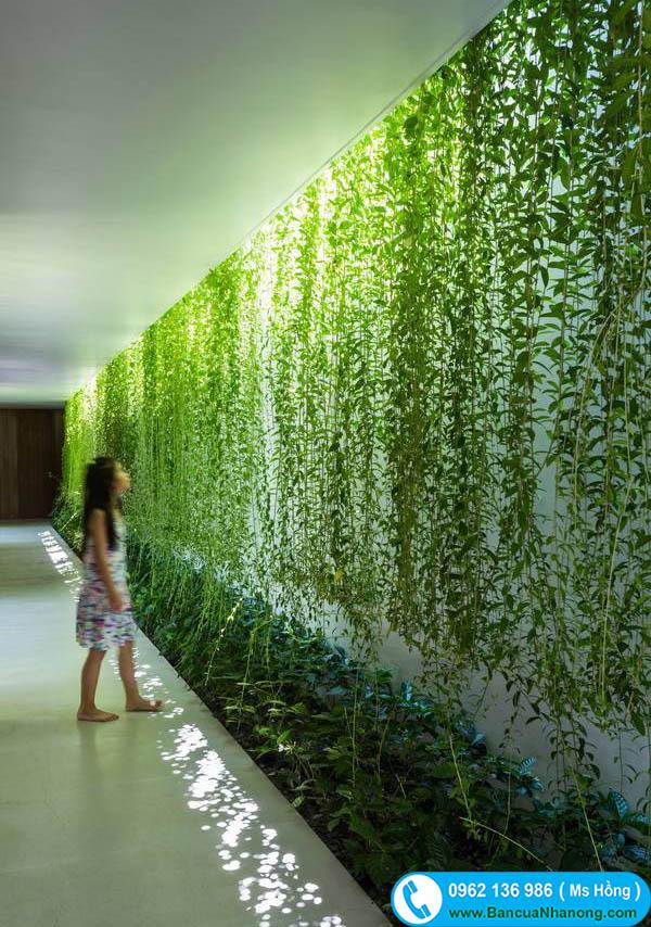 cây cúc tần ấn độ trồng giếng trời
