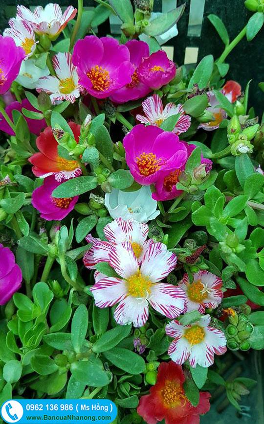cây giống hoa sam