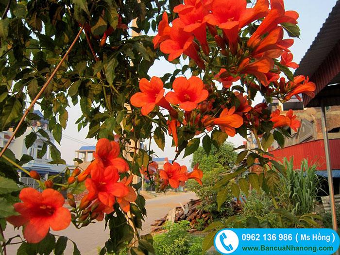 cây hoa lan tiêu