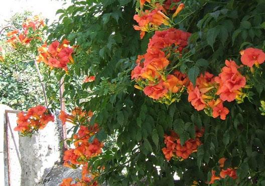 cây hoa leo giàn đăng tiêu