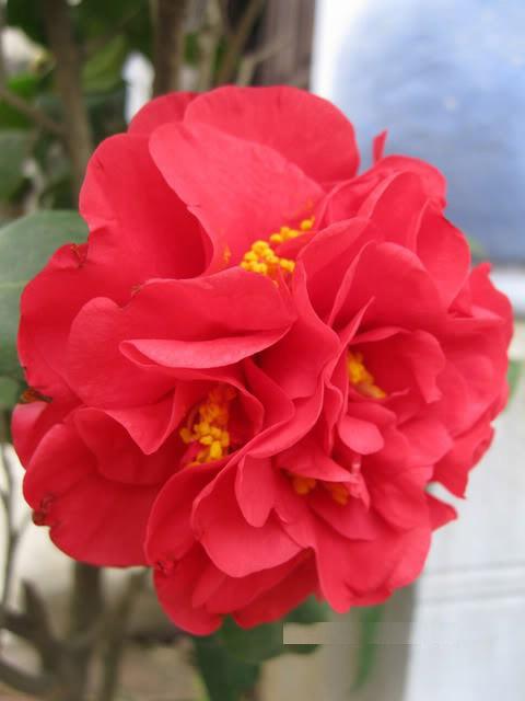Cây hoa trà mi đỏ