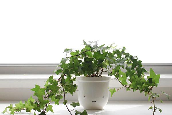 cây leo thường xuân trồng trong nhà