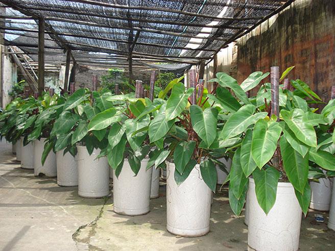 cây saphia văn giang, Hưng Yên