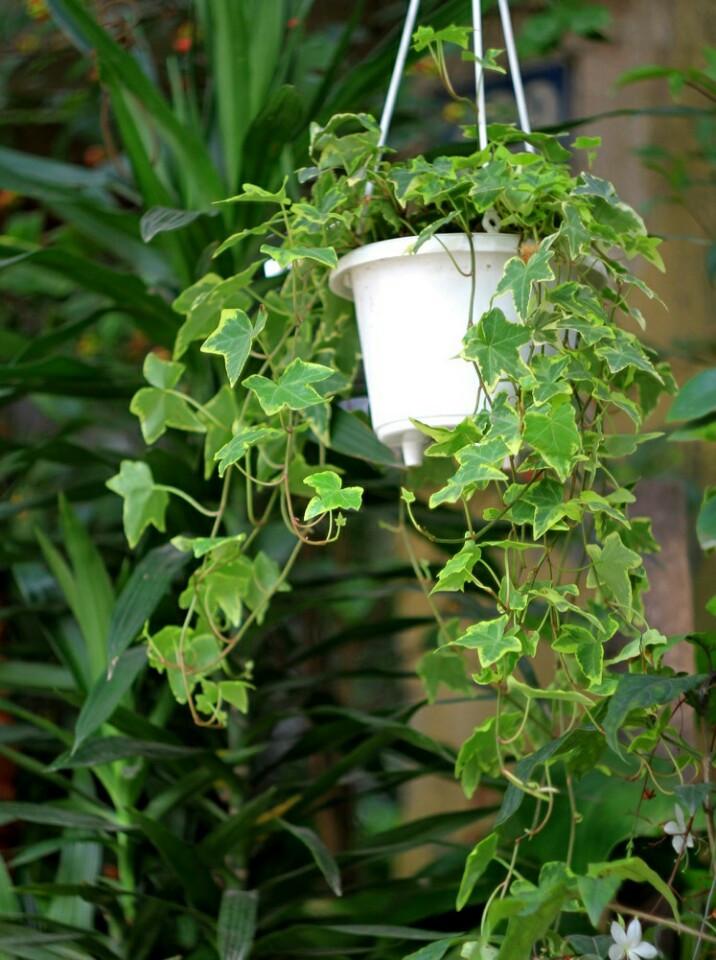 cây treo ban công thường xuân
