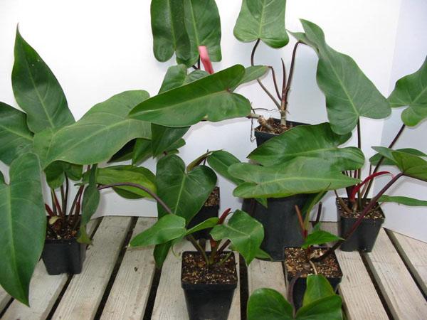 cây trồng trong nhà saphia