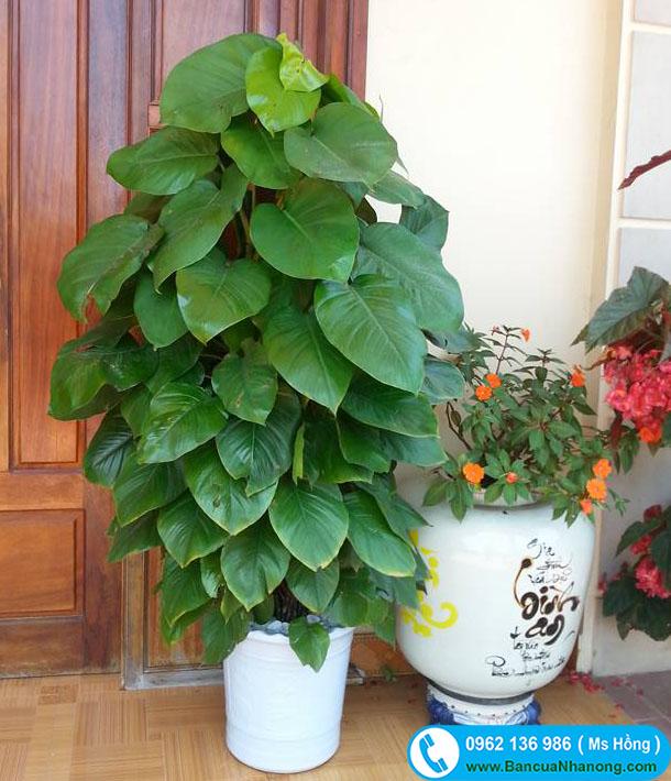 cây vạn niên thanh trồng chậu
