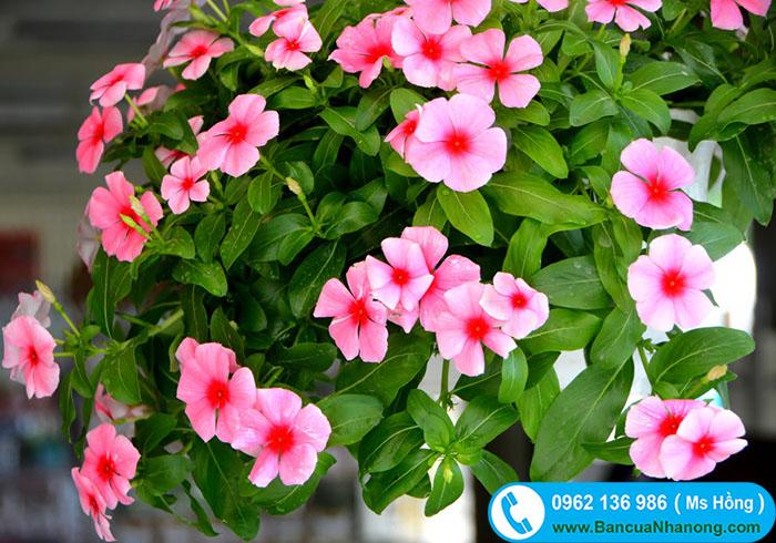 www.123nhanh.com: Dừa cạn màu sắc rực rỡ sẵn hàng