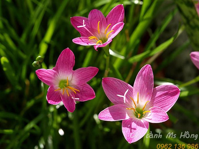 hoa toc tien phong hue