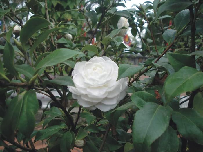 Hoa trà bạch