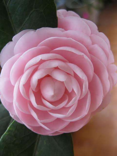 Hoa trà hồng