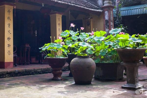 trồng sen trong nhà