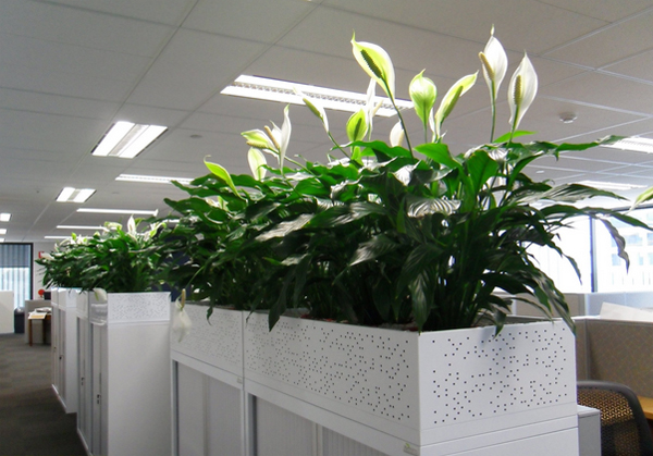 www.123nhanh.com: Cây hoa Lan Ý trồng trang trí tiểu cảnh sân vườn %*$.